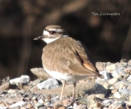 wildlife, photography, killdeer