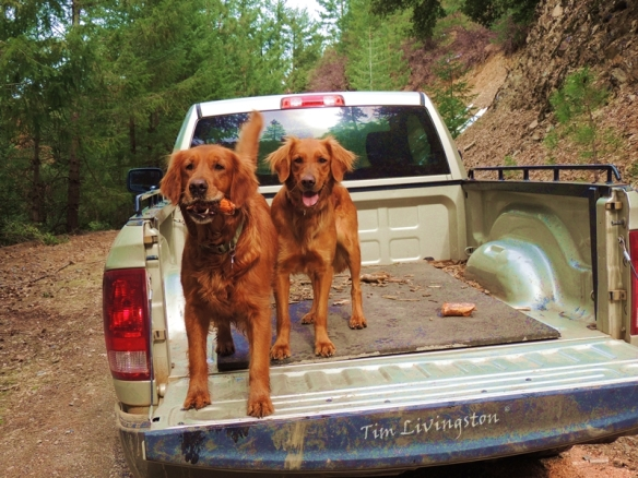 golden retrievers, dogs, woods