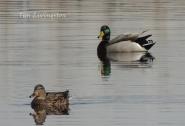 wildlife, photography, mallards, ducks, drake, hen, waterfowl