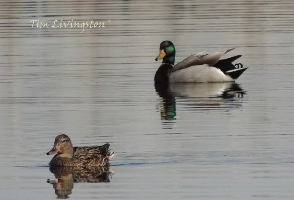 wildlife, photography, mallards, ducks, drake, hen, waterfowl