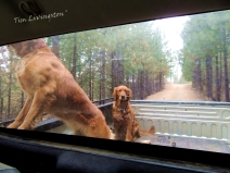 golden retriever, pickup, ride, dogs photography