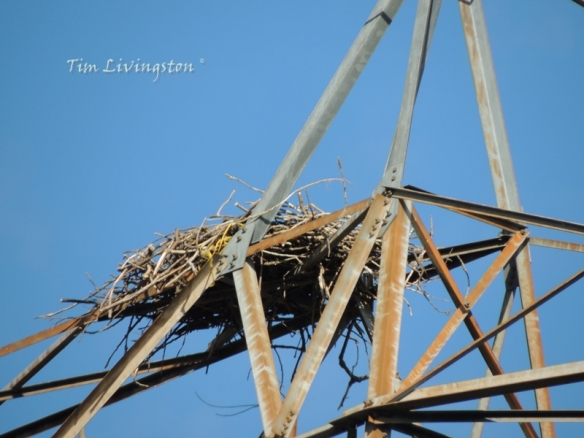 osprey, nest, wildlife, photography