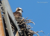 osprey, nest, nature, wildlife, photography