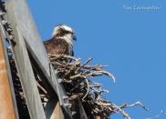 osprey, nest, nature, wildlife, photography