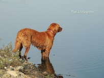 Teka, golden retriever, geese, duck dog