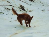 Golden Retriever, dog, snow photography