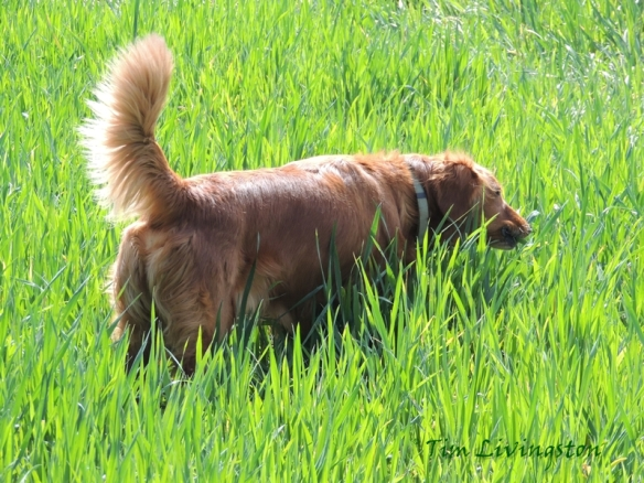 Blitz, golden retriever,