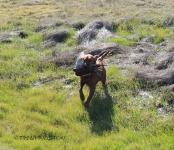 Blitz joyfully returns with a bird.