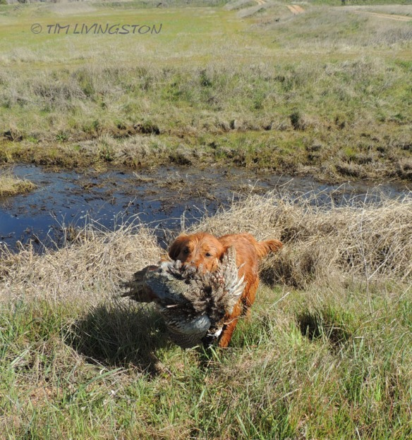 golden retriever, hunting, photography, pheasant