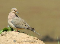 easter, dove, mourning dove