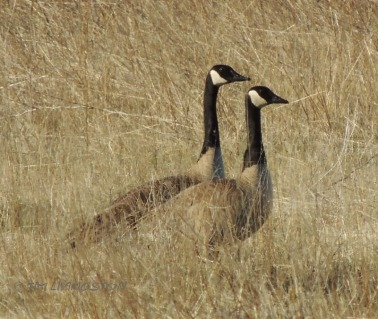 geese, Canadian Geese, photography, wildife, nature