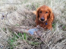 golden retriever, hunting, photography