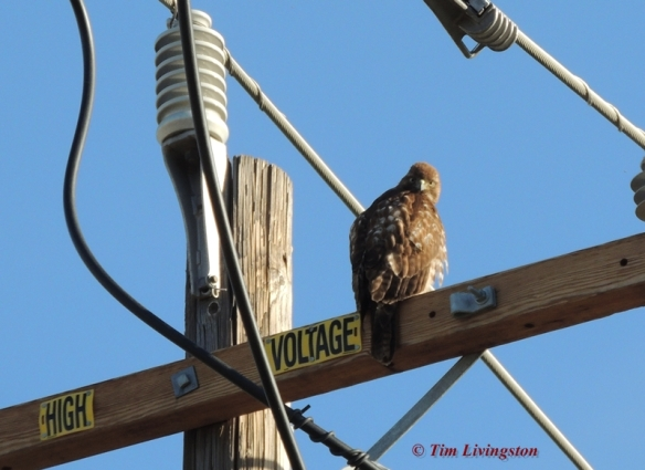 redtail hawk, redtail, buteo, rapture, photography, nature, wildlife