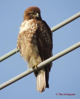 Juvenile Redtail 4