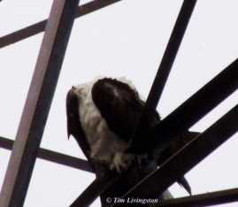 Osprey, photography, wildlife, nature