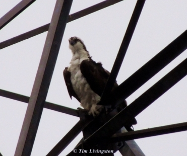 Osprey, photography, wildlife, nature