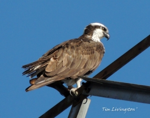 osprey, pair, nesting, nest, photograpy, nature, birds, wildlife