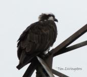 Osprey male 3