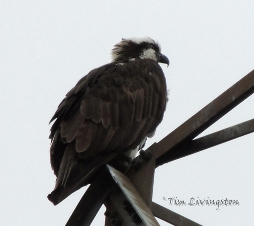 osprey, nest, tower, photography, nature, wildlife, birding, birds