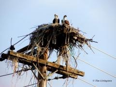 osprey, trashy, nest, photography, nature, wildlife