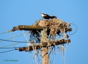 osprey, trashy, nest, photography, nature, wildlife