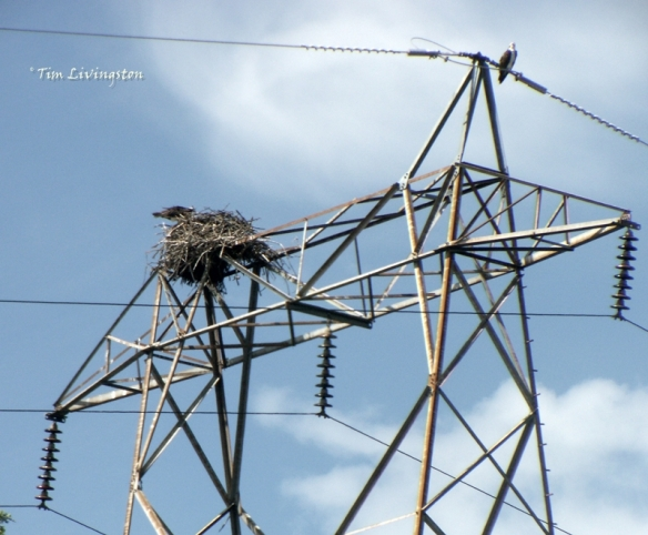 osprey, nest, wildlife, birds, nature, photography, birding