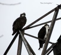 Osprey pair 2