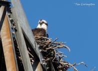 osprey, nest, wildlife, birds, nature, photography, birding