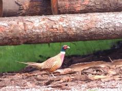 pheasant, poles, nature, wildlife, photography