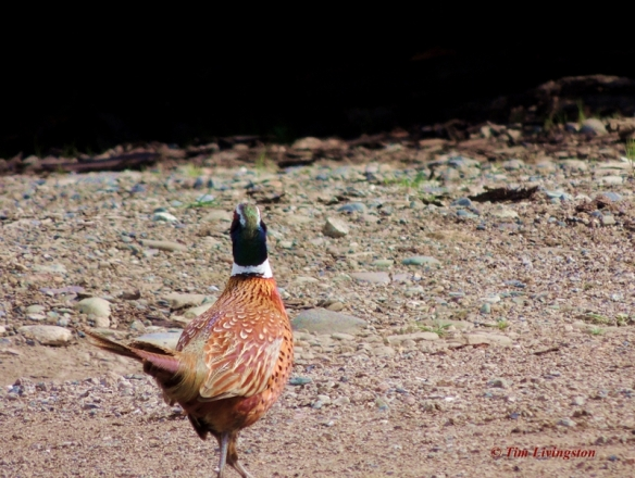 pheasant, poles, nature, wildlife, photography