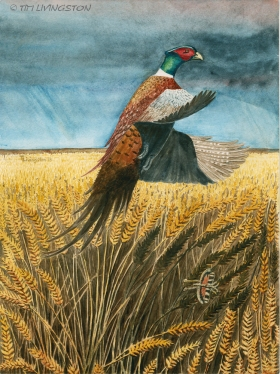 Pheasant, ring-neck pheasant, watercolor, watercolour, art, , p