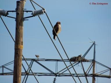 Redtail & Osprey