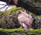 redtail hawk, redtail, buteo, rapture, photography, nature, wildlife