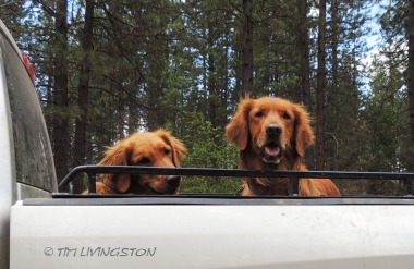 Blitz, Teka, golden retriever