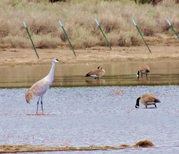 crane, Sandhill Crane, Nature, wildlife, photography, California