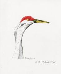 pen and ink, colored pencil, sandhill crane, crane, wildlife, nature, photography, Poison Lake, Ash Creek Wildlife Refuge