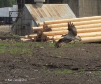 Osprey Dive zm