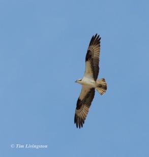 osprey, nature, wildlife, photography