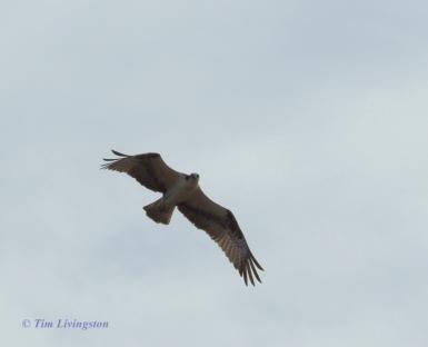 Osprey flight 5