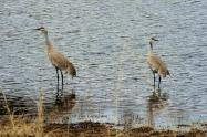 crane, Sandhill Crane, Nature, wildlife, photography, California