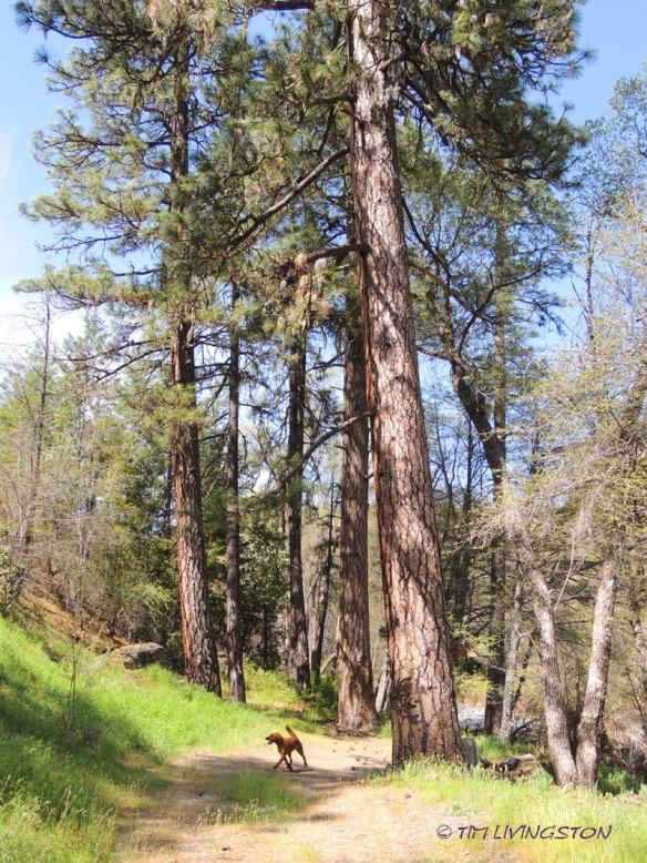 Big Pine