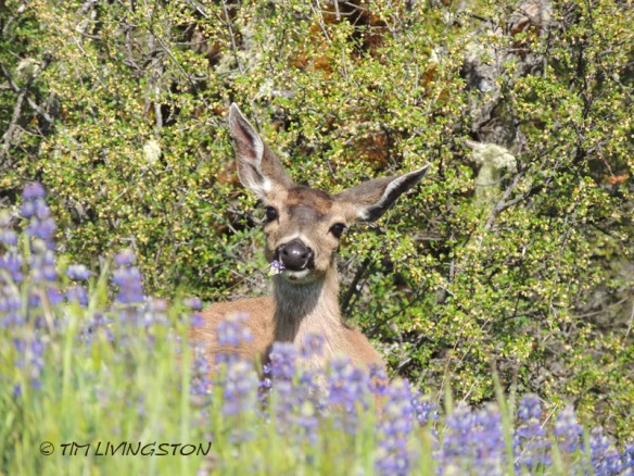 doe, deer, lupine, wildflowers, spring, photography, wildlife