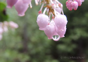 Manzanita, rain, photography, nature
