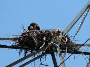 Osprey, nest, nesting, chicks, photography, nature, wildlife