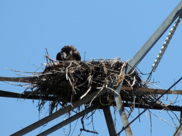 Osprey, nest, nesting, chicks, photography, nature, wildlife