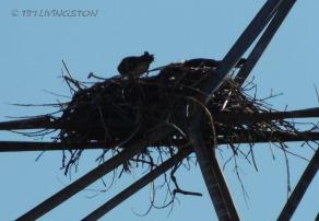 Osprey parenting.
