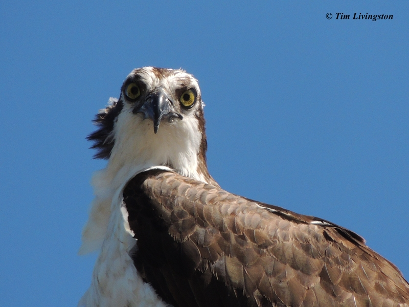 Osprey, photography, nature, wildlife, osprey chick