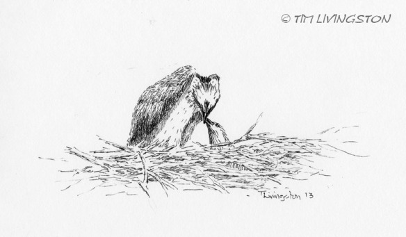 Osprey, pen and ink, ink, nature, wildlife, osprey chick