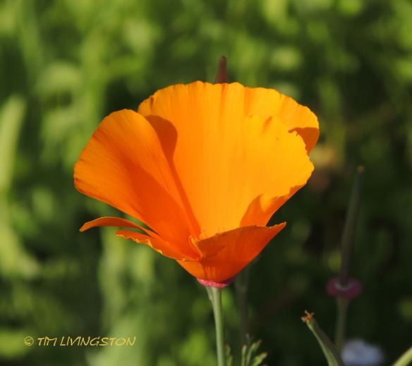 Poppy, California Poppy, nature, wildflower, photography
