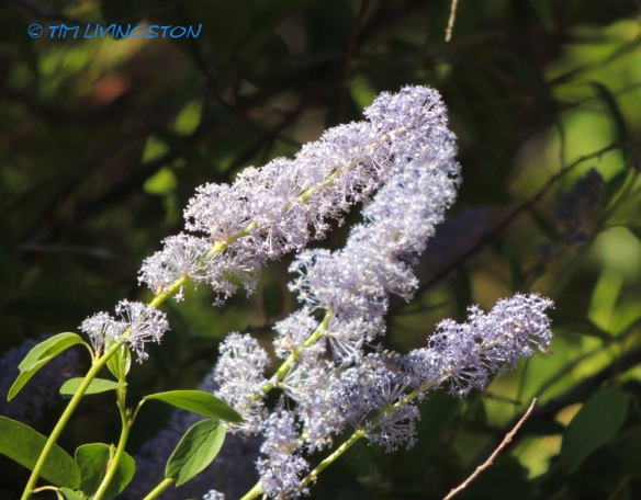 Deer Brush, Ceonothus, nature, wildflower, photography